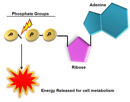 atp resynthesis equation Start studying biology unit ii energetics- cellular respiration learn vocabulary, terms, and more with flashcards, games, and other study tools.